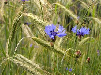 Korn-Blumen im Spessart