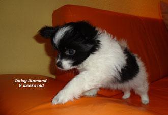 Daisy-Diamond 8 Wochen