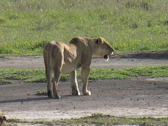 Lionne dans le cratère de N'gorongoro