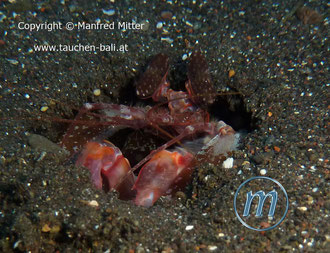 Fangschreckenkrebs - Giant Mantis Shrimp - Lysiosquillina lisa