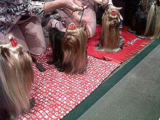 "Yorkies wearing their ""show bows"" at Westminster."