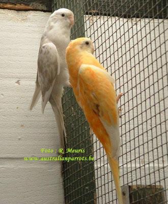 Bont oranje split ino x cinnamon blauw bont split oranje