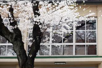 砧公園近くの道は、桜のトンネルだった。