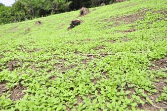 百年ぶりの焼き畑にカナカブの芽
