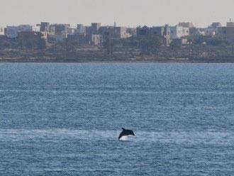 Delfín en Túnez