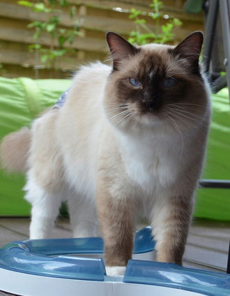Chocolate point mitted Ragdoll Kater