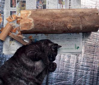もらってきた銀杏の枝と飼い猫レオちゃん