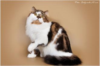 PurrSea Inglis of Evafold кот хайленд-страйт