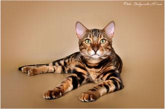 Вязка с бенгальским котом