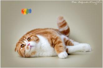 Royal Choice Bullet Red шотландский вислоухий кот для вязки