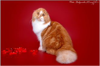 EVAFOLD Beautiful кот хайленд-фолд для вязки