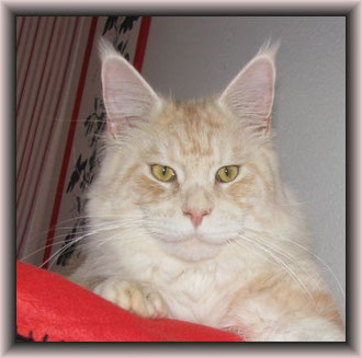 Maine Coon Großer Internationaler Champion Eriol of Naturalforce