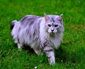 Maine Coon from Otherland, black-silver-tabby-white