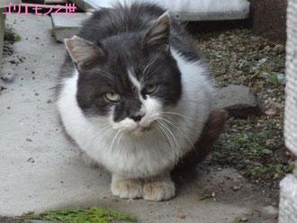 白河地域猫「ゴリエモン2世」