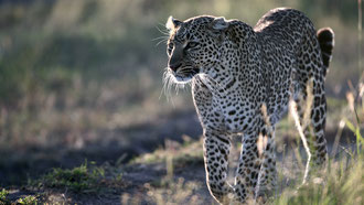 Leopardo femmina