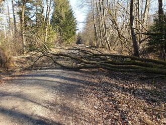 umgestürzter Baum auf dem Waldweg