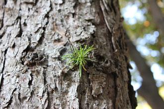 カラマツ 林試の森 11月