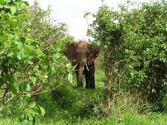 アフリカタンザニアで実際に出会った象