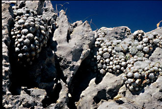 Sempervivum arachnoideum subsp. tomentosum, Monti Simbruini, in situ, Foto: Mariangela Costanzo, alle Rechte vorbehalten