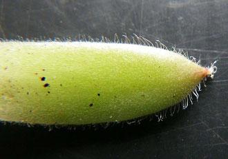Sempervivum arachnoideum × Sempervivum tectorum  bzw. Sempervivum × piliferum, Spitze eines Rosettenblatts
