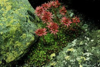 empervivum arachnoideum × Sempervivum montanum, Dolomiten, in situ, Foto: Mariangela Costanzo, alle Rechte vorbehalten