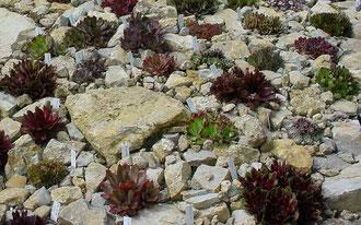 Züchterische Hybriden (Sorten), perfekt präsentiert im Garten von Martina Zimmer