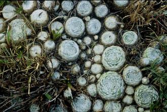 Rosetten von Sempervivum arachnoideum subsp. tomentosum, Regionalpark Sirente-Velino, Abruzzen, in situ, Foto: Mariangela Costanzo, alle Rechte vorbehalten