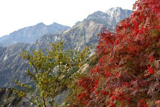 ナナカマドと五竜岳(右)・鹿島槍ヶ岳(左)