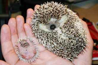 Hedgehog Kids