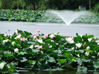 千秋公園の蓮の花