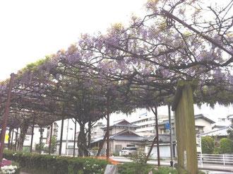 八女福島鉄道公園藤棚