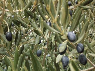 Olivenbaum bei Paziols