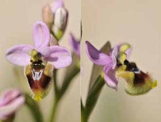 Ophrys oublié - Corse du Sud (201) - Avril 2010