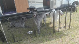VDH Züchterin Nadja Koschwitz hat gelegentlich vielversprechende, hübsche Barsoi Welpen aus Familienaufzucht! Windhunde aus Leidenschaft..., wir züchten mit viel Herz und Verstand die Hunderassen Scottish Deerhounds und Barsois!