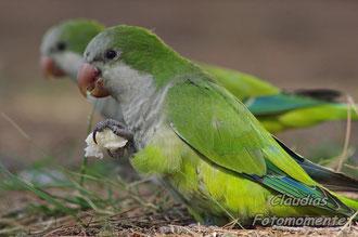 Mallorquinische freilebende Papageien...
