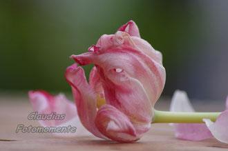 Eine welke Blume...nochmals die Schönheit festgehalten..
