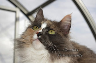 Unser Norwegisches Waldkatzenmädel