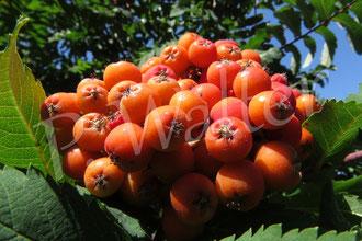 08.07.2018 : die Früchte der Säulen-Ebereschen sind dieses Jahr besonders eindrucksvoll