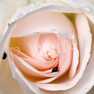 01.07.2017 : Rose Aspirin