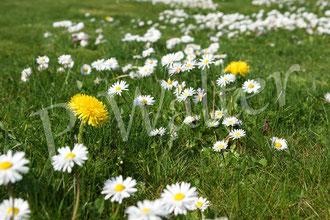 09.04.2016 : unser Rasen NACH dem Mähen (viele Sand- und Furchenbienen lieben die Gänseblümchen)