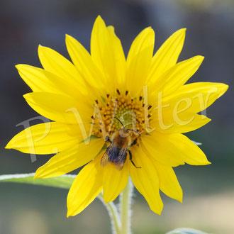 05.09.2016 : Hummel auf der Mini-Sonnenblume