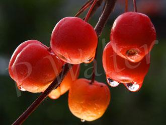 05.12.2020 : rote Zieräpfel, hier Malus Red Sentinel, nach dem ersten Frost ein leckeres Fressen für Amseln und Wacholderdrosseln
