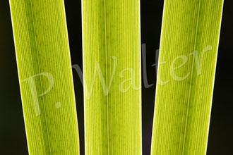 26.06.2014 : Sumpfschwertlilie