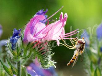 22.06.2016 : Schwebfliege am Natternkopf, erst blüht er blau, dann rosa