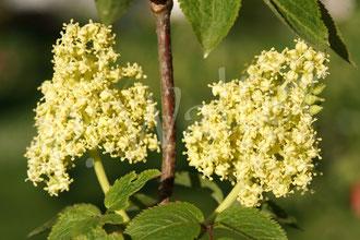 28.04.2015 : Blüten des Hirschholunders (Roter Holunder)