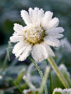 01.01.2020 : ein frostiges Gänseblümchen am Neujahrstag