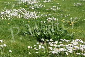 16.04.2016 : unser Rasen, Gäseblümchen, Löwenzahn und in der Mitte wachsen ein paar Wegwarten
