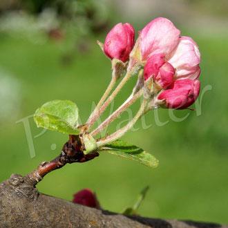 26.04.2015 : Zierapfelblüten