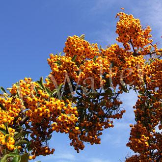 03.10.2020 : Früchte des orangen Feuerdorns, bald von Amseln aufgefressen, zur Blütezeit ein Fest für viele Wildbienen