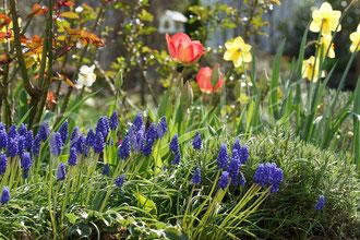 28.03.2017 : Traubenhyazinthen, Tulpen und Narzissen